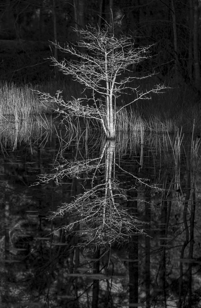 tress, black and white, Acce basin, reflections, pond