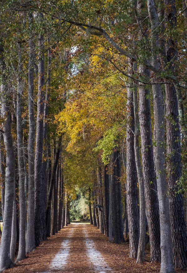 gravel road, trees, fall, lowcountry,